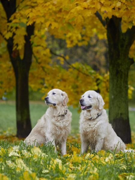 hình ảnh chó Golden dễ thương vào mùa thu