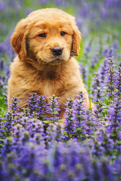 hình ảnh chó Golden đẹp bên hoa violet
