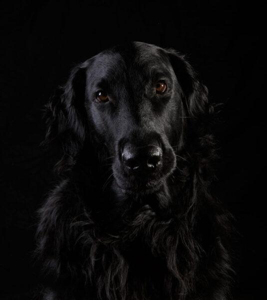 hình ảnh chó Golden lông đen đẹp nhất