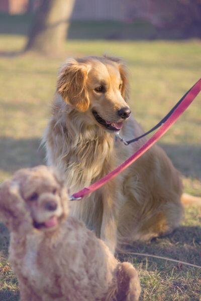 hình ảnh chó Golden lông xoăn