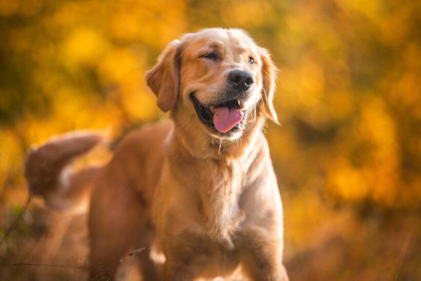 hình ảnh chó Golden nghịch ngợm