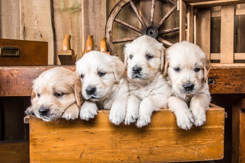 hình ảnh chó Golden Retriever con lông trắng
