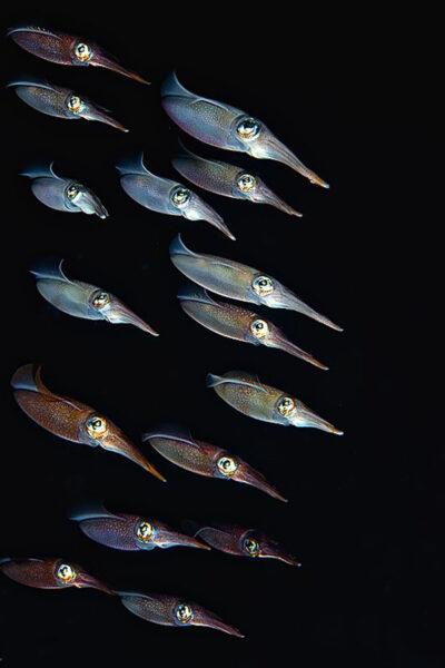 hình ảnh con mực bơi theo đàn