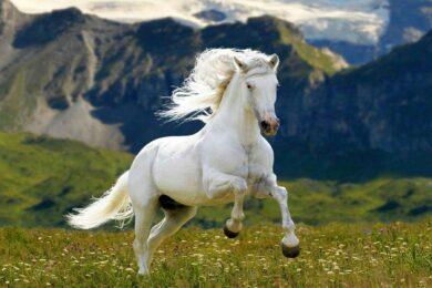 hình ảnh con ngựa trắng trên đồng hoa và núi đẹp