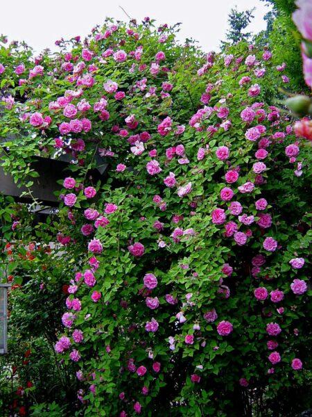 hình ảnh dàn hoa hồng trứng màu hồng đẹp nhát