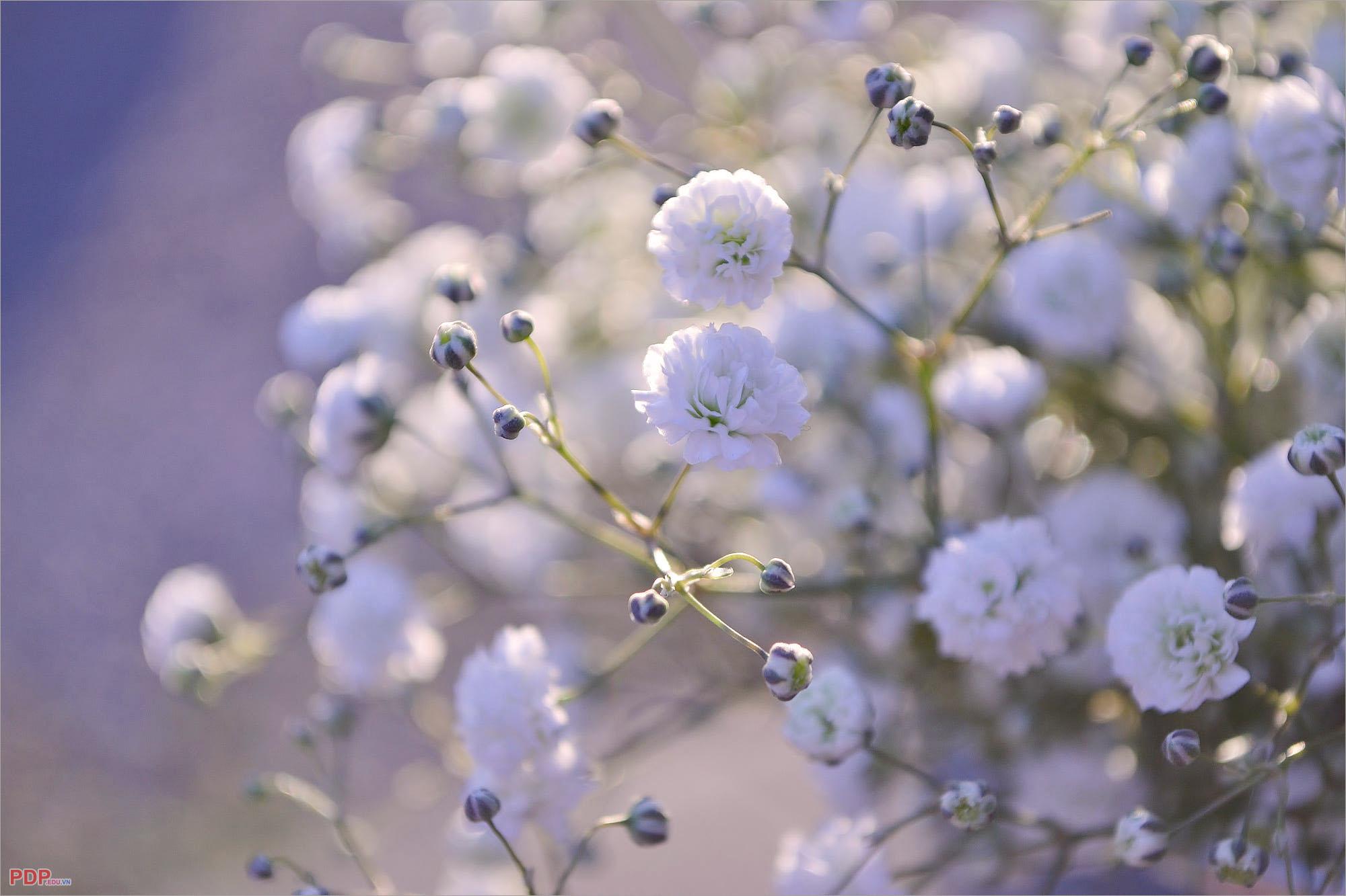 hình ảnh hoa baby tuyệt đẹp
