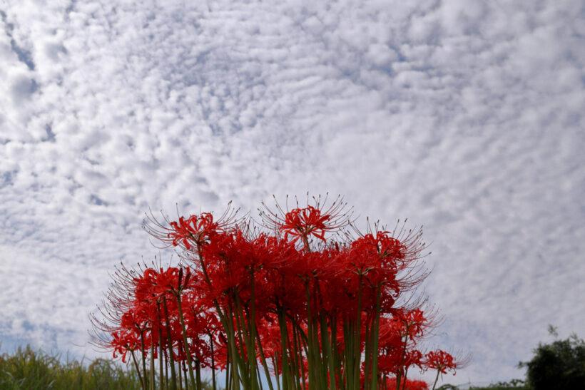 Hình ảnh hoa bỉ ngạn đẹp dưới bầu trời