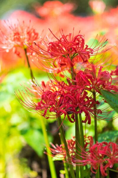 Hình ảnh hoa bỉ ngạn hd