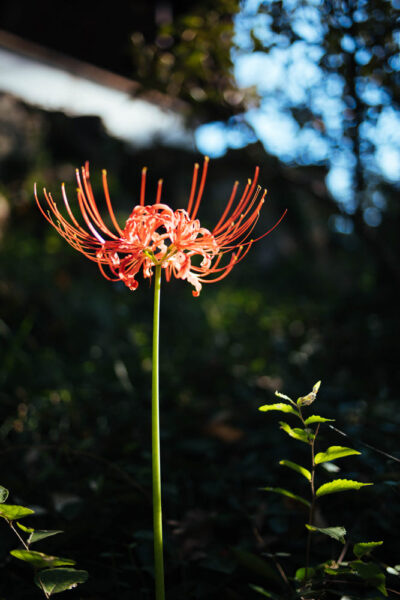 Hình ảnh hoa bỉ ngạn khoe sắc dưới ánh nắng mặt trời