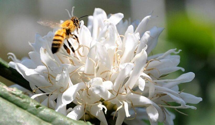Hình ảnh ong hút mật hoa cà phê