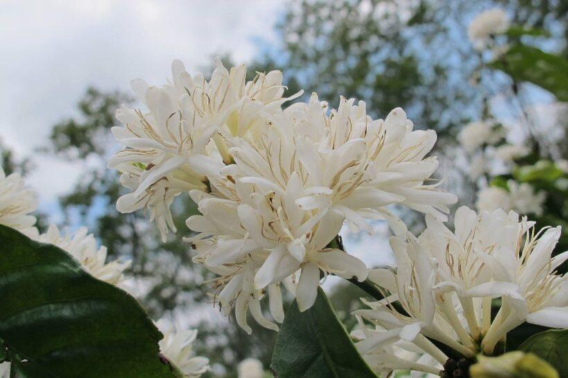 Hình ảnh hoa cà phê đẹp hút hồn
