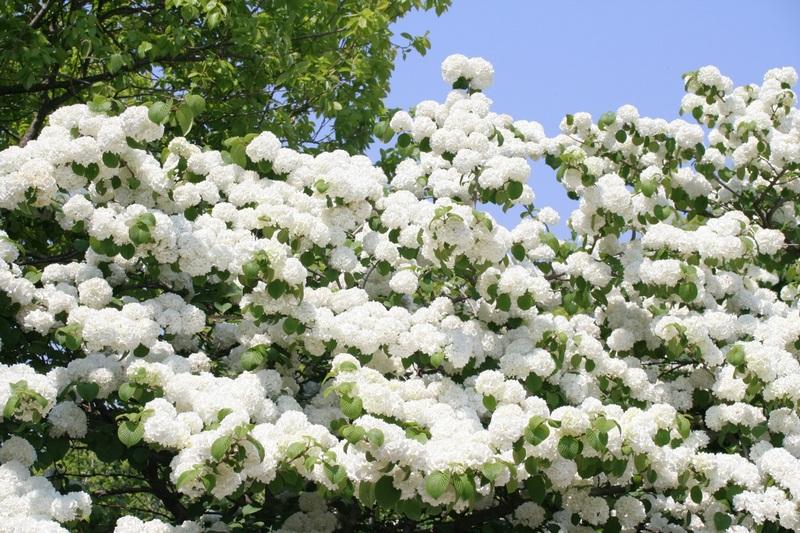 Hình ảnh hoa cà phê trắng như bông tuyết
