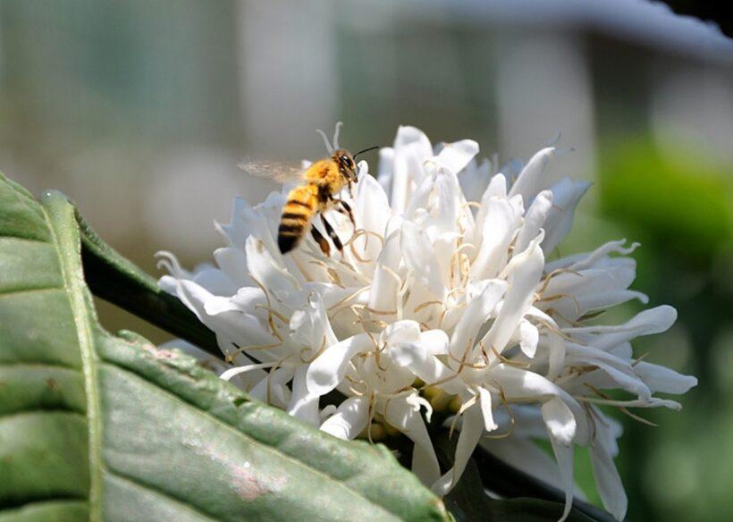 Hình ảnh hoa cà phê trắng thu hút con ong