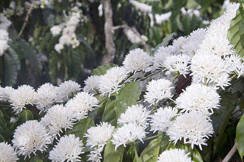 Hình ảnh hoa cà phê trắng xóa dưới nắng