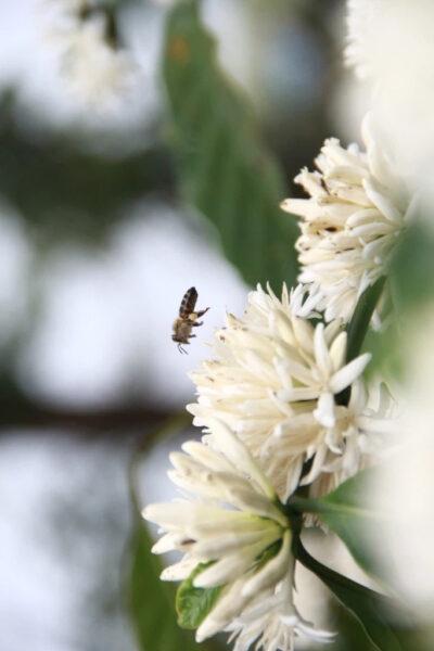 Hình ảnh hoa cà phê và ong