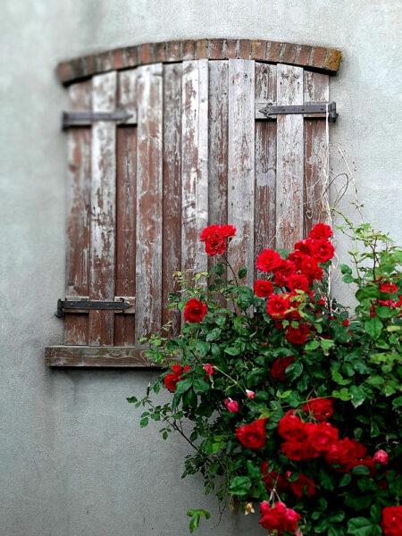 Hình ảnh hoa hồng leo đẹp bên cửa sổ