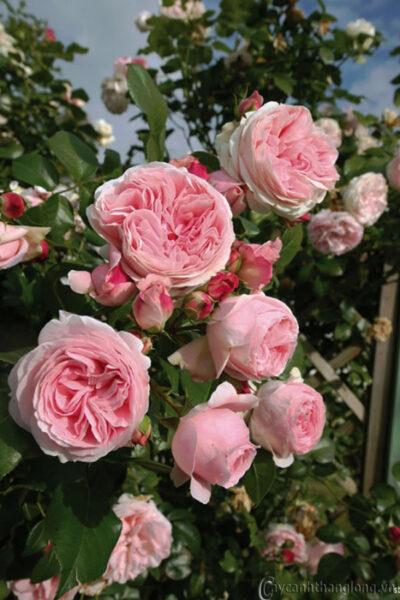 Hình ảnh hoa hồng leo đẹp cuốn hút