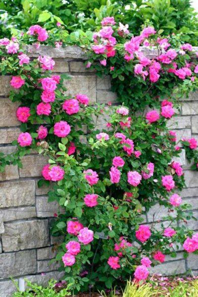 Hình ảnh hoa hồng leo đẹp lãng mạn