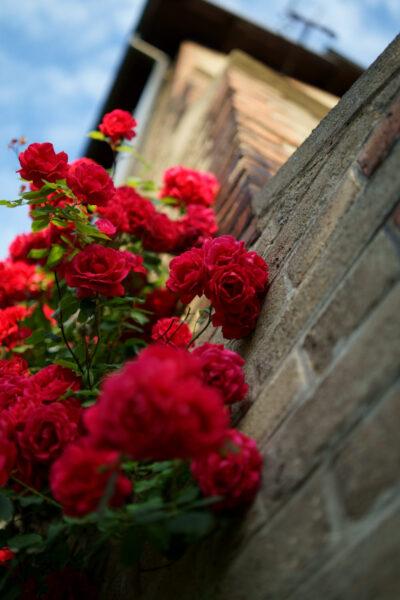 Hình ảnh hoa hồng leo đỏ