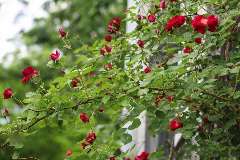 Hình ảnh hoa hồng leo đỏ rực