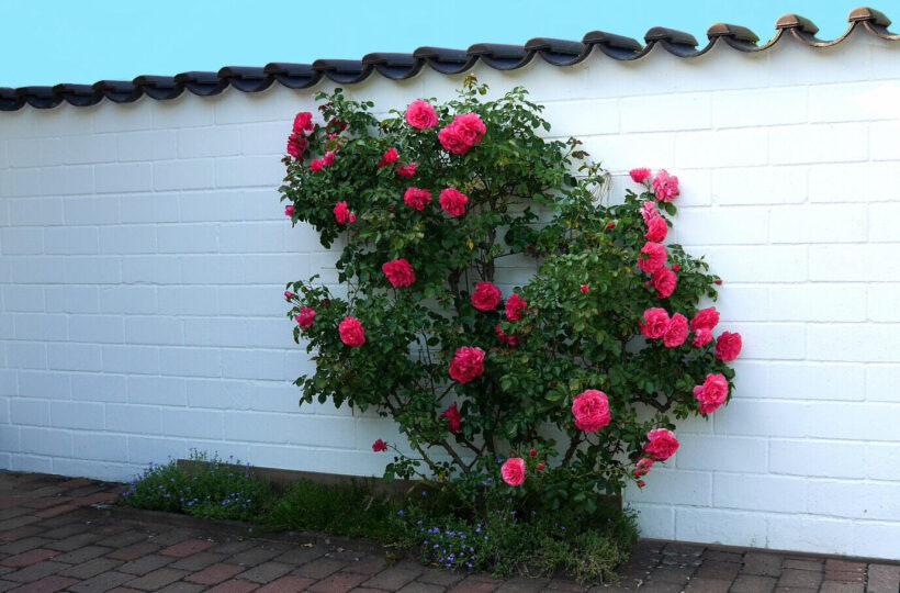 Hình ảnh hoa hồng leo đỏ trên nền tường trắng