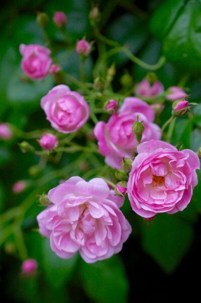 Hình ảnh hoa hồng leo hồng nhạt đẹp