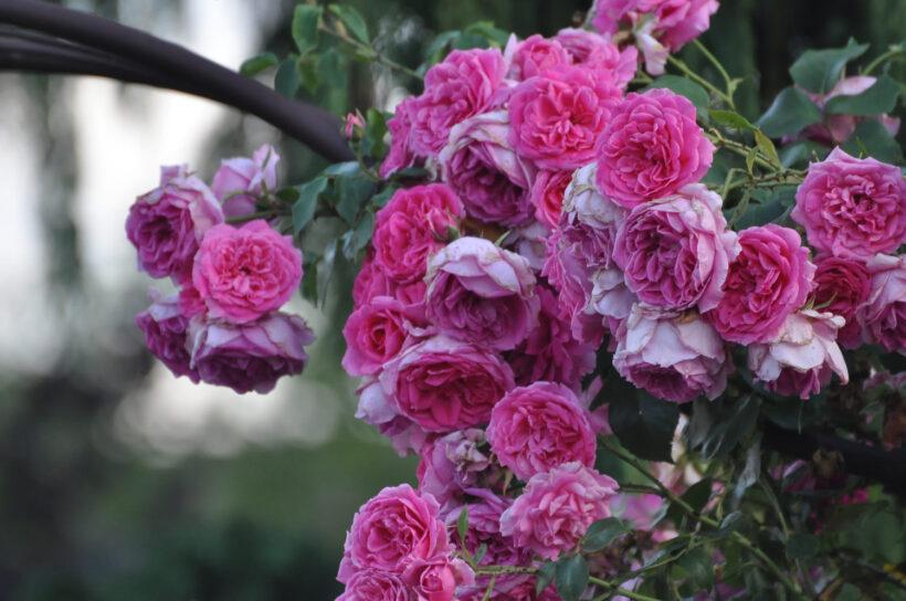 Hình ảnh hoa hồng leo màu hồng đẹp