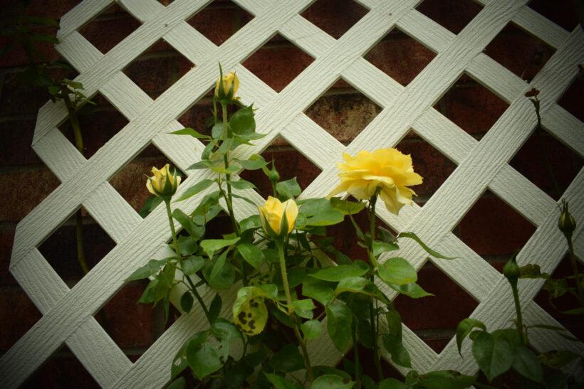 Hình ảnh hoa hồng leo màu vàng