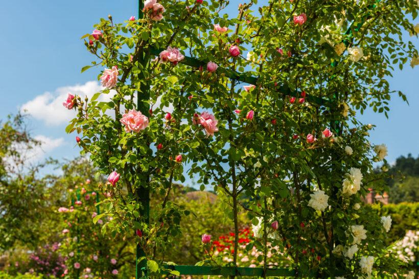 Hình ảnh hoa hồng leo mọc trên hàng rào đẹp