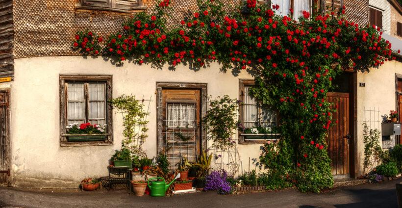Hình ảnh hoa hồng leo trên một căn nhà đẹp