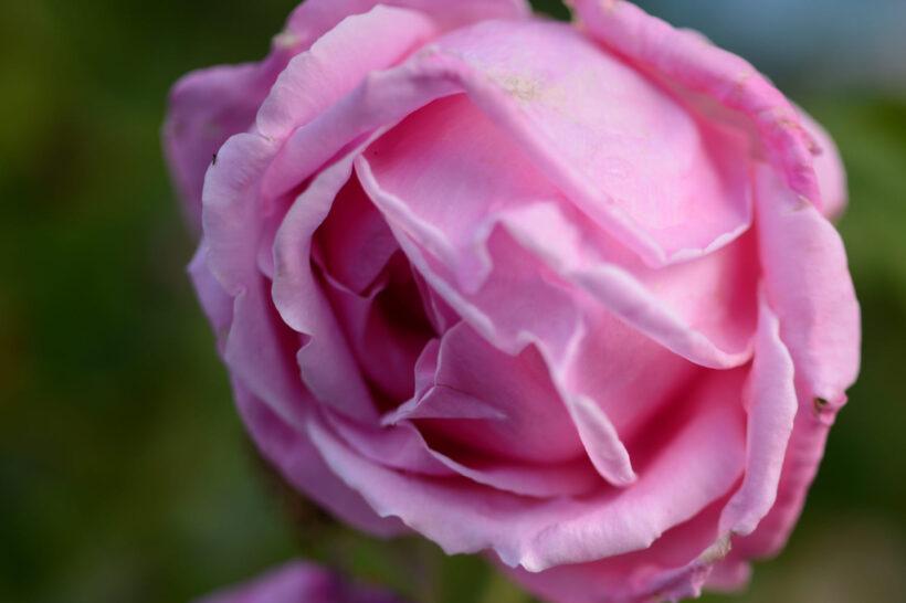 Hình ảnh hoa hồng trứng cận cảnh