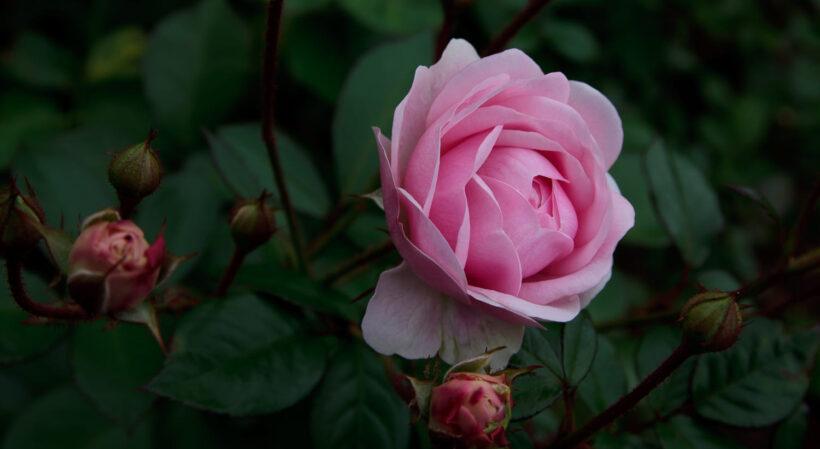 Hình ảnh hoa hồng trứng đang trổ bông