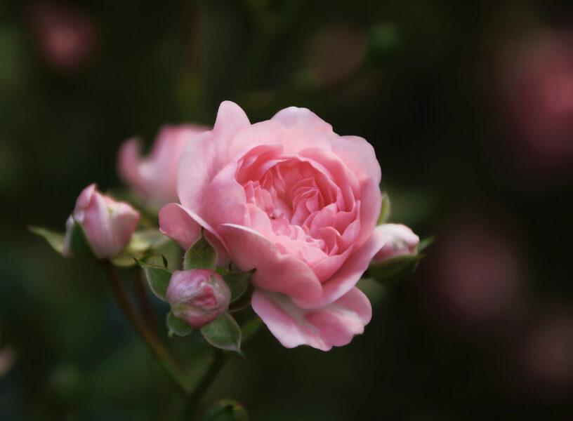 Hình ảnh hoa hồng trứng đẹp nao nức lòng người