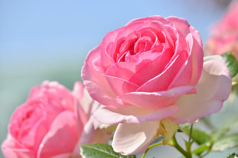 Hình ảnh hoa hồng trứng đẹp ngây ngất lòng người