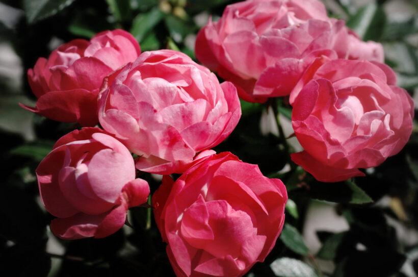 Hình ảnh hoa hồng trứng hồng nhạt đang khoe sắc dưới ánh nắng