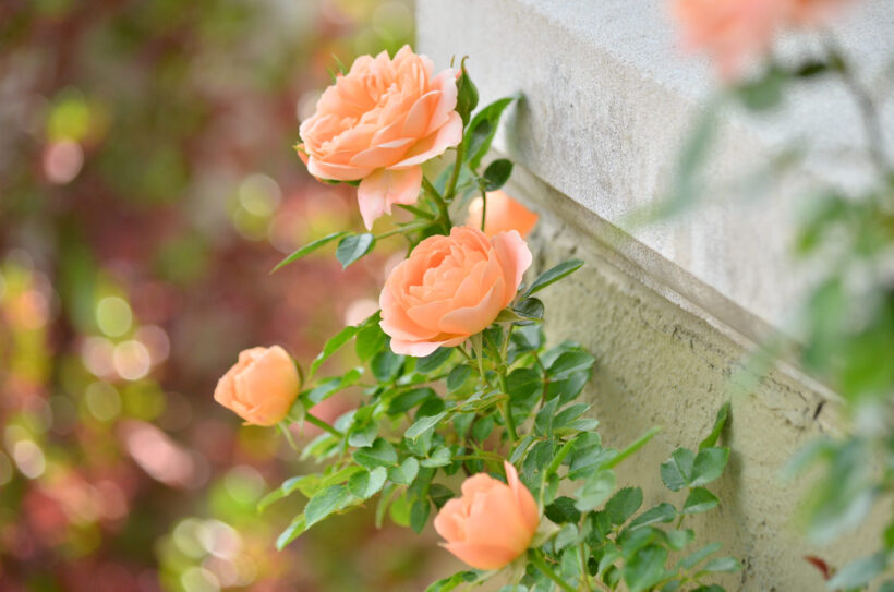 Hình ảnh hoa hồng trứng màu cam nở bên tường