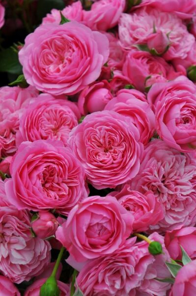 Hình ảnh hoa hồng trứng màu hồng hồng nhạt đẹp hút hồn
