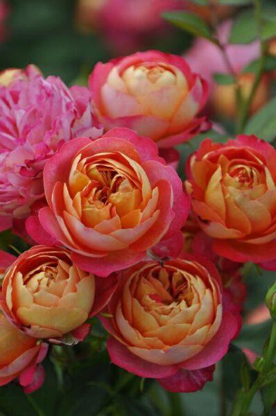 Hình ảnh hoa hồng trứng màu hồng và vàng