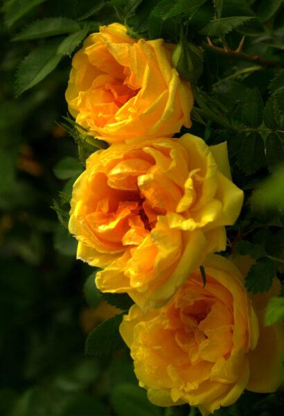 Hình ảnh hoa hồng trứng màu vàng chói
