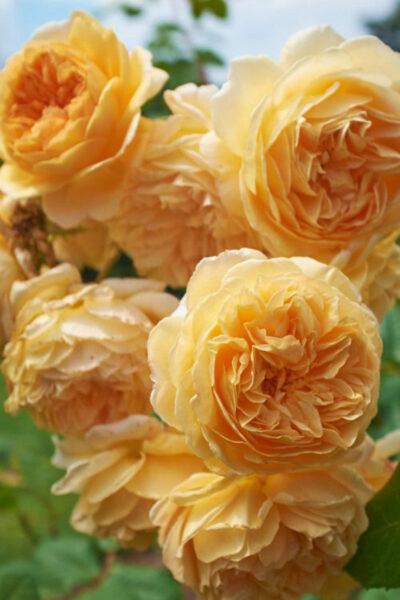 Hình ảnh hoa hồng trứng màu vàng rực rỡ