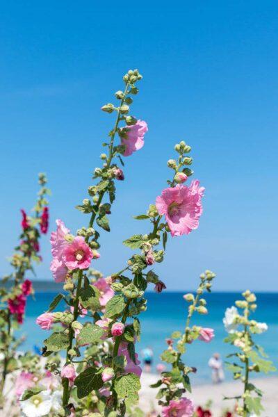Hình ảnh hoa mãn đình hồng đẹp bên bãi biển