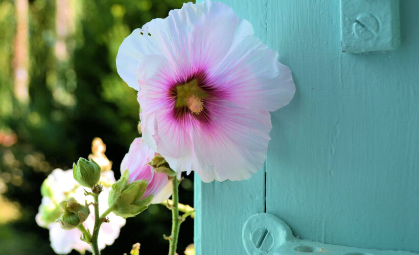 Hình ảnh hoa mãn đình hồng đẹp nhất
