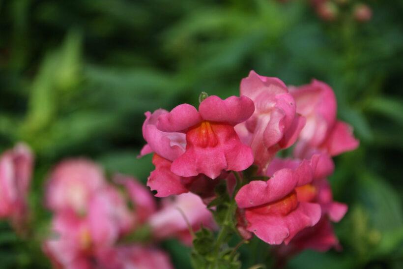 Hình ảnh hoa mõm chó màu hồng đẹp nhất