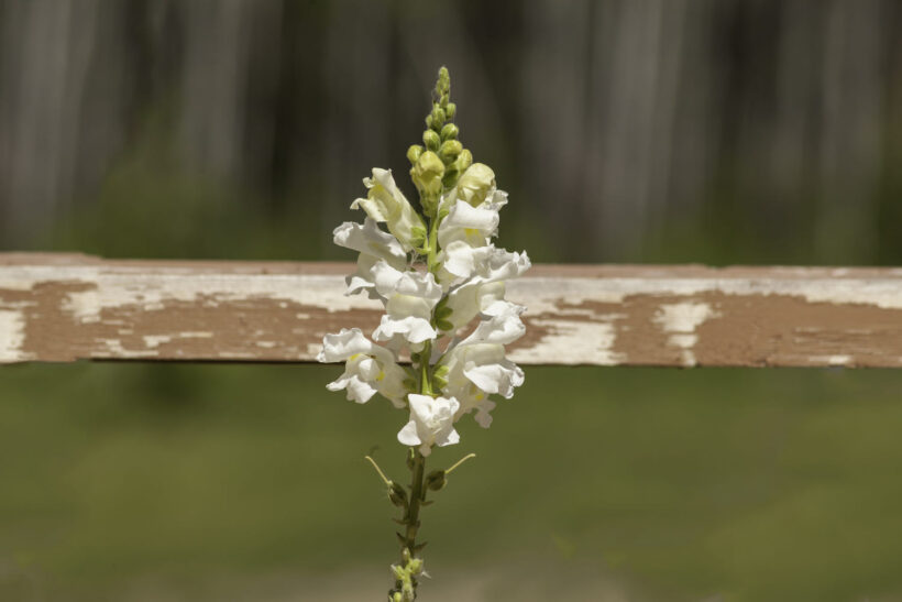 Hình ảnh hoa mõm chó màu trắng đẹp