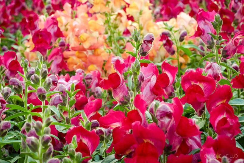 Hình ảnh hoa mõm chó nhiều màu sắc đẹp