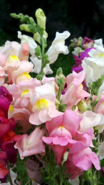 Hình ảnh hoa mõm chó nhiều màu sặc sỡ