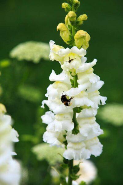 Hình ảnh hoa mõm sói trắng tinh khôi