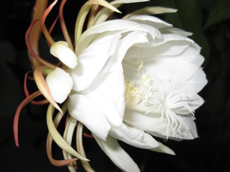 Hình ảnh hoa quỳnh cực đẹp