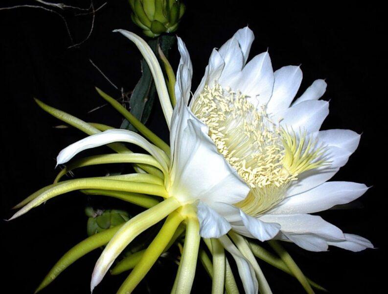 Hình ảnh hoa quỳnh cực đẹp, cực đáng yêu trong đêm