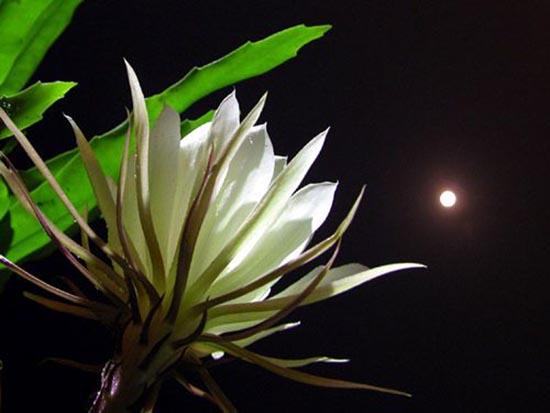 Hình ảnh hoa quỳnh đẹp dưới đêm trăng